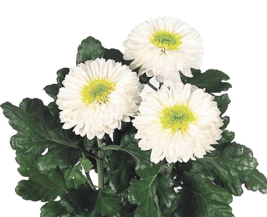 хризантема инга фото